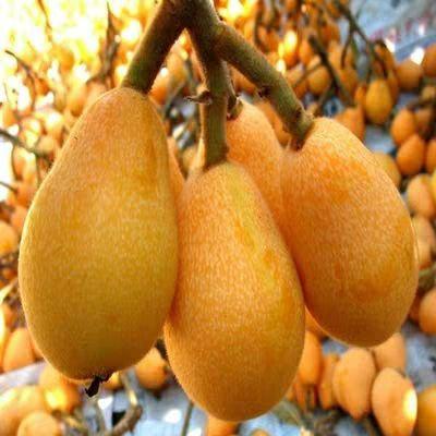 这是一张关于大红袍枇杷苗 的产品图片