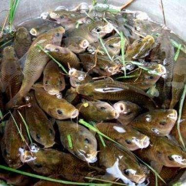 这是一张关于鲤鱼苗 的产品图片