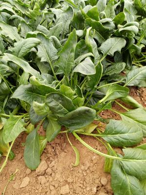 山东省滨州市惠民县小叶菠菜  25~30cm 自家菜地2-3亩