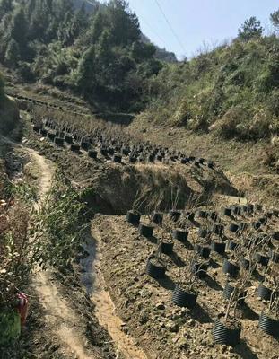 江西省上饶市铅山县映山红 1~1.5米