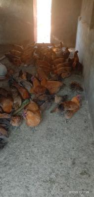 这是一张关于肉鸡 6-7斤 母 的产品图片