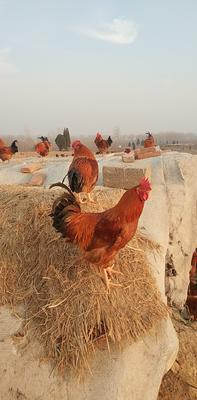 山东省泰安市岱岳区大红公鸡 5-6斤 公