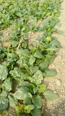 这是一张关于大叶菠菜 30~35cm 的产品图片