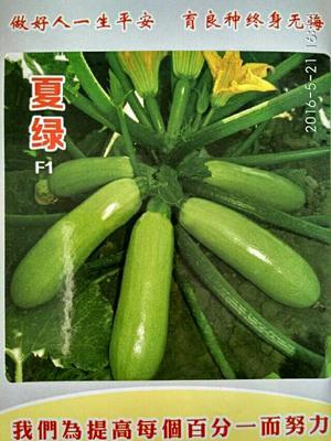 河南省商丘市睢阳区夏绿西葫芦