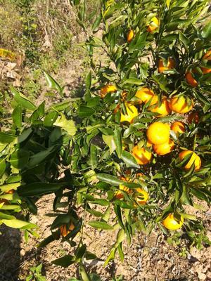 云南省西双版纳傣族自治州景洪市香橘 统货 1 - 1.5两
