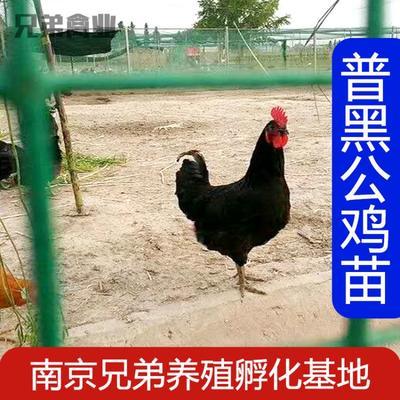 这是一张关于黑鸡 2斤以下 统货 的产品图片