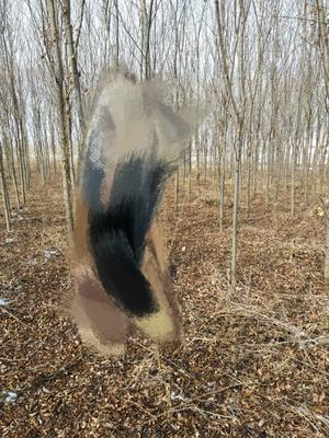 这是一张关于垂柳 的产品图片