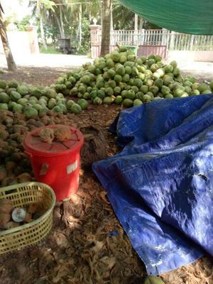 海南省海南省文昌市椰皇  1.5 - 2斤 绿椰4-6斤