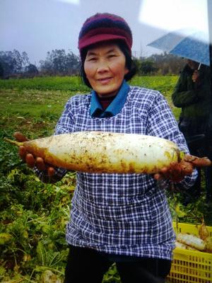 广西壮族自治区桂林市灵川县长美大萝卜 2~2.5斤