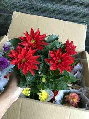 广东省广州市荔湾区小丽花种子