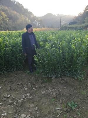 湖南省常德市桃源县日南一号蜜柑苗 嫁接苗 0.35~0.5米
