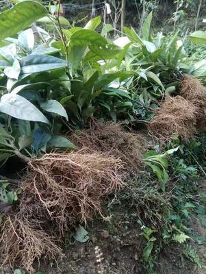 这是一张关于黑老虎种子 的产品图片