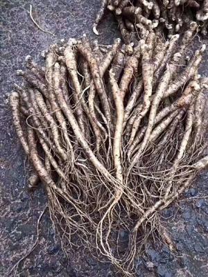 这是一张关于人参菜种苗 的产品图片