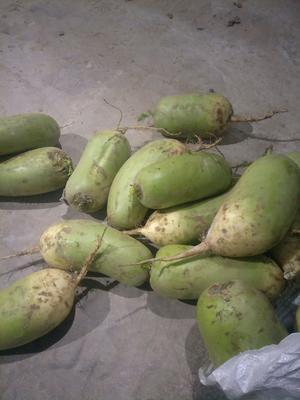 河南省开封市通许县白萝卜 3~3.5斤