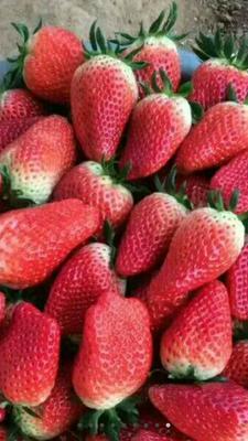 这是一张关于甜查理草莓苗 10公分以下 地栽苗 的产品图片