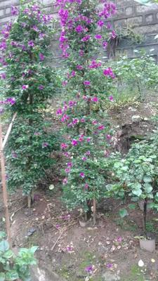 四川省宜宾市宜宾县紫红三角梅 2~2.5米