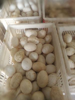 山东省菏泽市郓城县鲜鹅蛋 食用 箱装