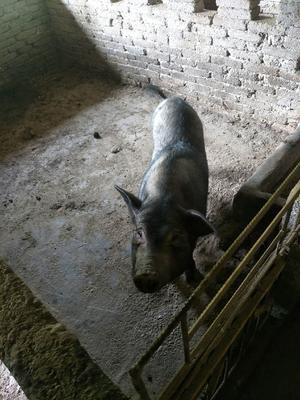 贵州省铜仁市石阡县从江香猪 40-60斤