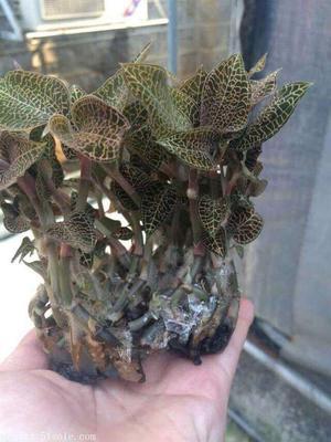 这是一张关于金线莲  金线莲种子 提供技术的产品图片