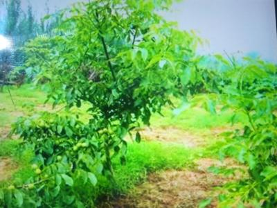 这是一张关于新疆薄壳核桃苗 的产品图片