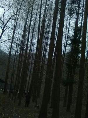 湖北省十堰市房县普通水杉