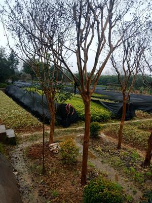 湖南省长沙市浏阳市紫薇树