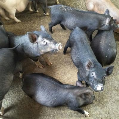 广东省惠州市博罗县黑猪 20-25斤