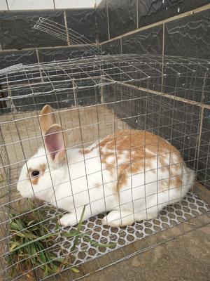 这是一张关于花色獭兔 5斤以上 的产品图片