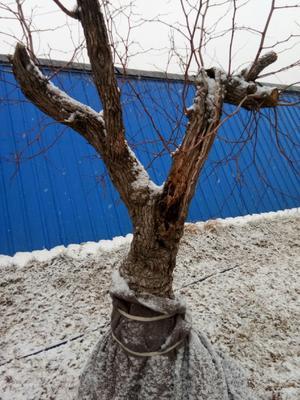 河北省保定市清苑县果树盆景  300年左右的枣树老