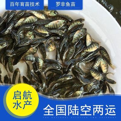 广东省惠州市博罗县罗非鱼苗