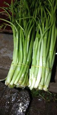 江西省景德镇市乐平市玉芽芹菜 60cm以上 0.5斤以下 露天种植