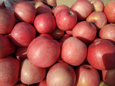 陕西省延安市洛川县红富士苹果 75mm以下 片红 纸袋
