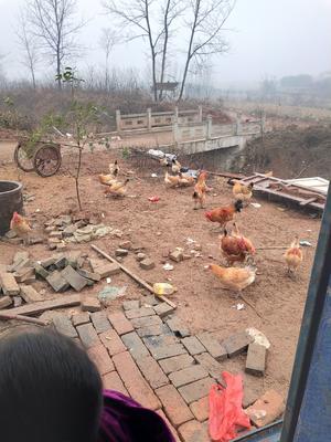 安徽省滁州市全椒县土鸡 3-4斤 统货