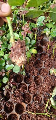 这是一张关于玫瑰苗 穴盘苗 的产品图片