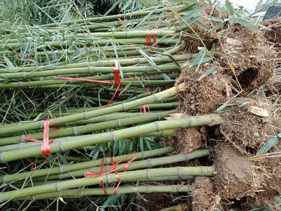 这是一张关于金镶玉竹 的产品图片