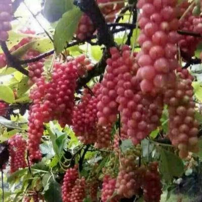这是一张关于五味子苗 大田繁殖 的产品图片