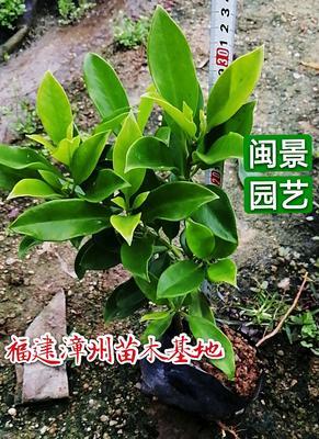 福建省漳州市漳浦县非洲茉莉 大袋
