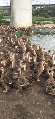 这是一张关于麻鸭 5-6斤 母 半圈养半散养 的产品图片