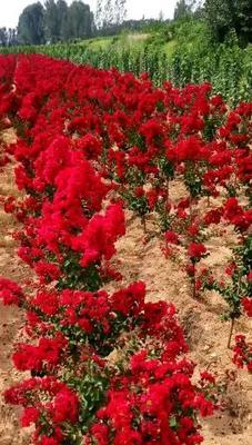 山东省泰安市岱岳区红火球紫薇