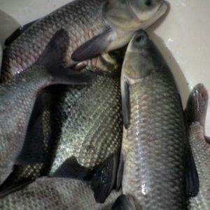 湖南省长沙市岳麓区池塘草鱼 人工养殖 0.05公斤