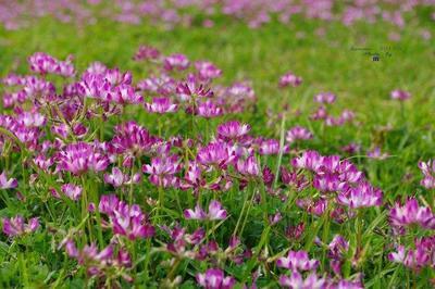 这是一张关于紫云英种子 的产品图片