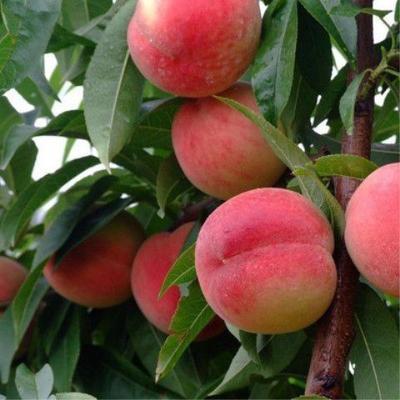 冬桃树苗 1~1.5米