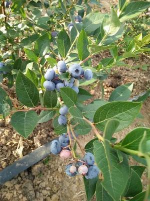 这是一张关于杜克蓝莓苗 的产品图片