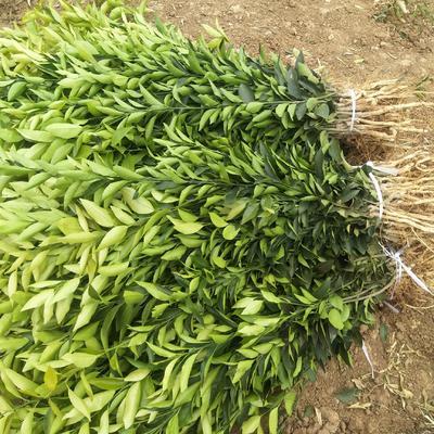 这是一张关于明日见柑橘苗 嫁接苗 0.35~0.5米 的产品图片