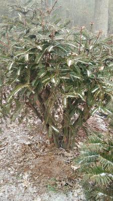 河南省平顶山市鲁山县野生红豆杉 1~1.5米