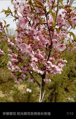 山东省泰安市泰山区日本红叶樱花 1~1.5米 4公分以下
