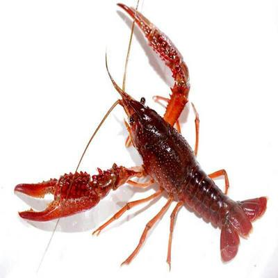 安徽省池州市贵池区清水小龙虾 6-8钱 野生