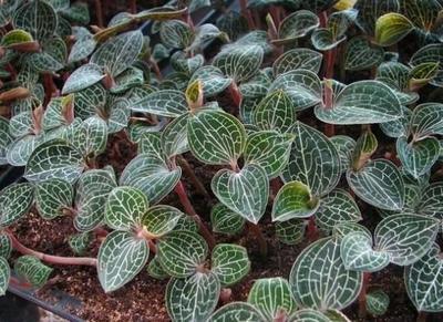 这是一张关于金线莲种苗  金线莲种子 提供技术的产品图片
