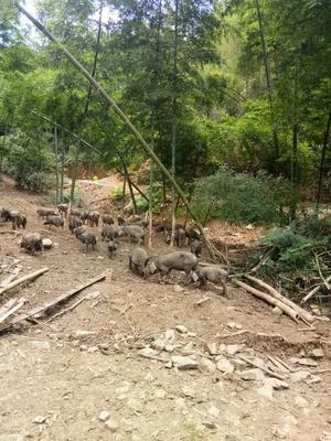 湖南省娄底市娄星区黑香猪 60斤以上