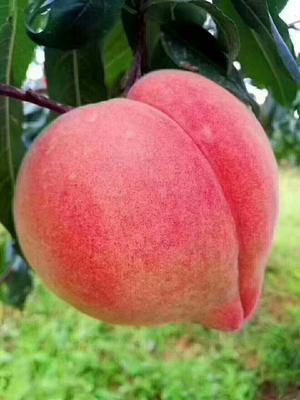 这是一张关于中华寿桃桃树苗 0.5~1米 的产品图片